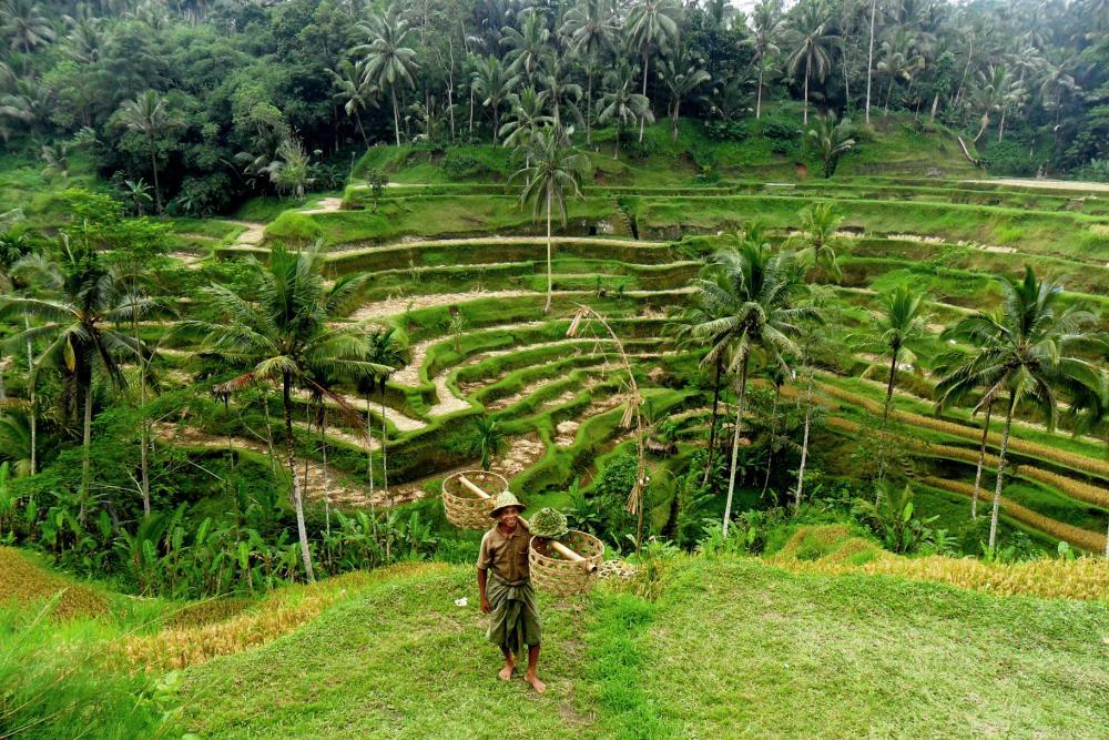 Schöner Ausflug auf Bali: Die Reisfelder bei Ubud