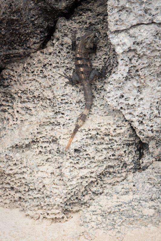 eine echse am strand an den ruinen von tulum