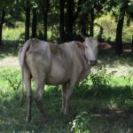 Eine thailändische Kuh