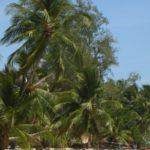 Palmen am Chao Pao Strand auf Kho Phangan