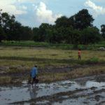 Man sieht viele Reisfelder in Sukhothai