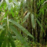 Viel Bambus im Khao Sok Nationalpark