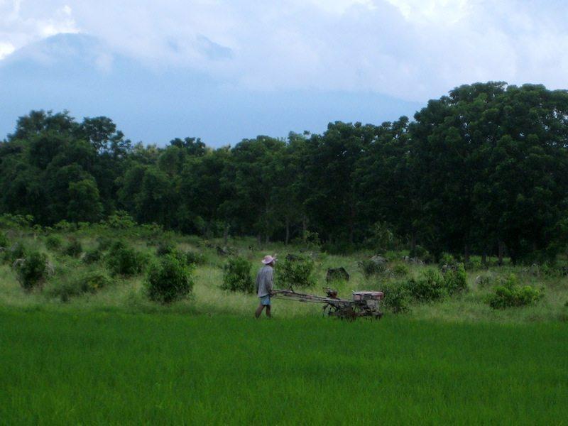 Reisfelder rundum den Sukhothai Historical Park in Thailand