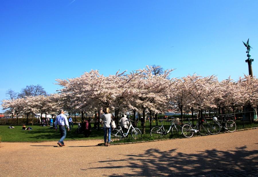Kirschblüten in Kopenhagen - zwischen Kastell, Meerjungfrau und Hafen