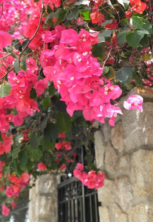 Blumen, überall auf Mallorca!