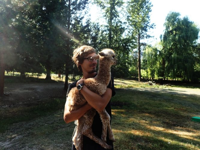 Farmarbeit Kanada - Wwoofing auf der Alpakafarm