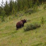 Highlight beim Reisen in West-Kanada: Ein Grizzlybär