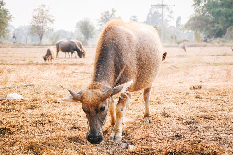 Rinder auf Don Det im Süden von Laos - 4.000 Islands