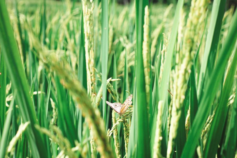 Reisfelder in Ubud - Tipp für die Bali Backpacking Route