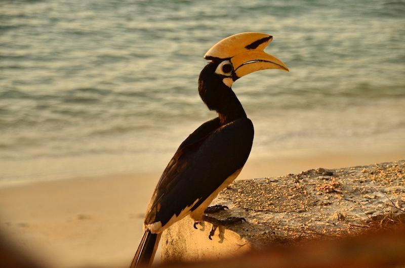 Wir haben einigen Nashornvögel auf der Insel Pangkor gesichtet
