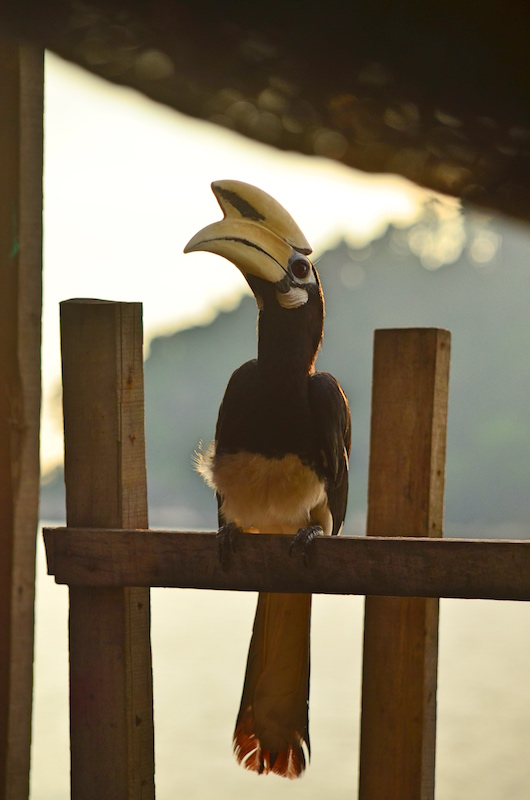Nashornvogel auf Pangkor, Westküste Malaysia