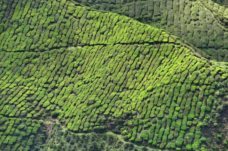 Teeplantage Cameron Highlands
