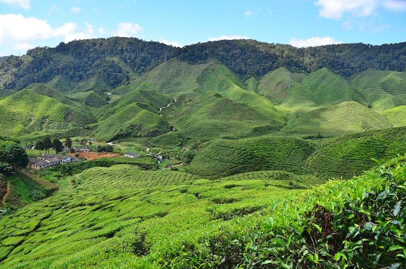 Unsere Westküste Malaysia Route ging über die Cameron Highlands